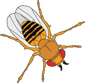 Drosophila.png